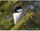 Chickadee Bad hair