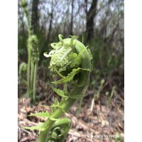 50 - Fiddlehead Closeup